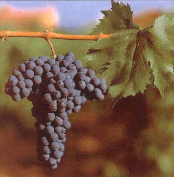Sangiovese_grapes